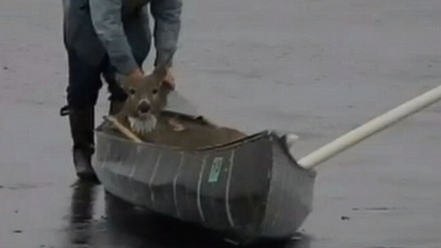VIDEO: Deer Rescued From Icy Lake