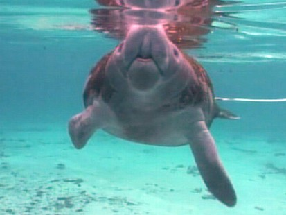 """VIDEO: The """"GMA"""" anchor swims with manatees and lives his dream."""