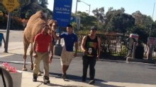 Good Morning America: GMA 11/24: Camel Escapes Circus, Wanders Los Angeles Streets