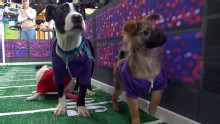 Good Morning America: GMA 01/30: Puppy Bowl Sneak Peek