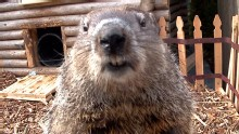 Good Morning America: GMA 02/02: Groundhog's Day 2013: Punxsutawney Phil Faces Stiff Competition