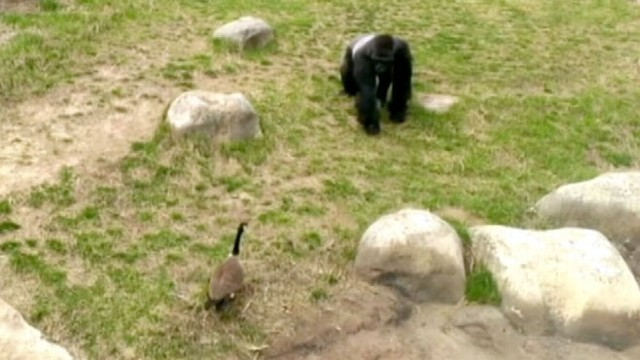 VIDEO: Goose on the Loose vs. Gorilla: Who Will Win?