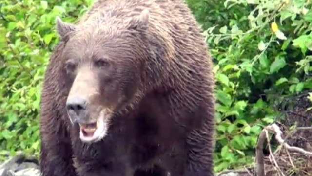 VIDEO: Incredible video shows massive bear charging at photographers in the wild.