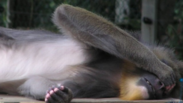 VIDEO: These primates cover their eyes when they want to be left alone.