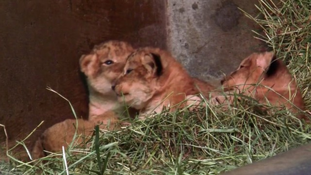 VIDEO: Lion cubs were born Nov. 8 at Seattles Woodland Park Zoo.