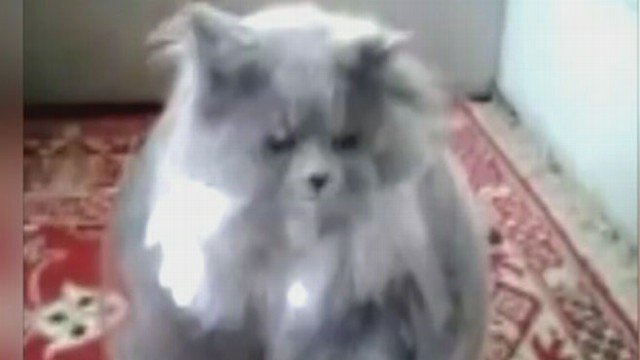 VIDEO: Funny Cat Video: Cat Jumps in Fish Bowl