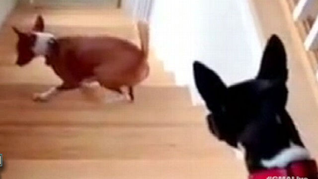 VIDEO: Dog Walks Backwards Up Stairs