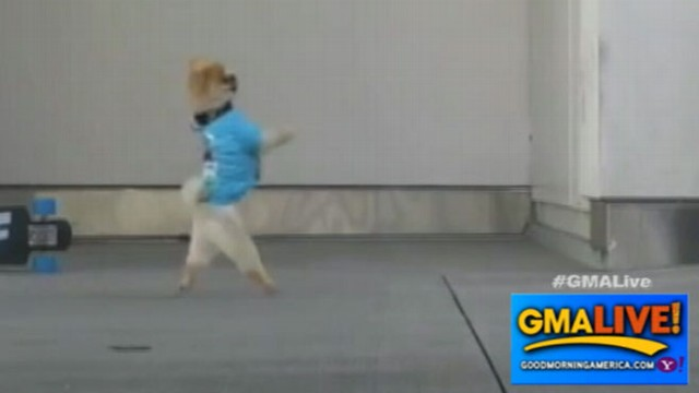 VIDEO: Jiff the Dog Does Tricks: Could Cute Pooch Be the Next Wonder Dog?