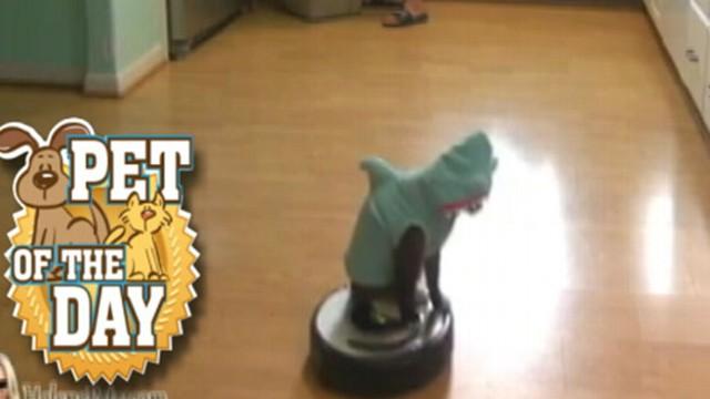 VIDEO: Cat in Shark Costume Rides Robo-Vacuum