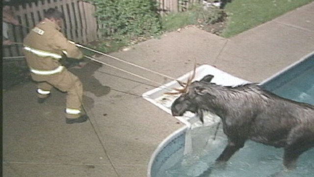 VIDEO: Moose rescued after wandering into a swimming pool.