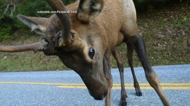 VIDEO: North Carolina photographer had a close encounter with an elk that was looking to lock horns.