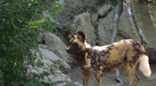 VIDEO: A 2-year-old was killed when he fell into an exhibit of endangered African dogs