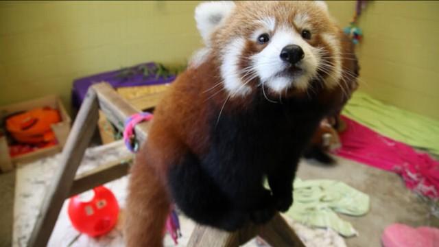VIDEO: Dan Harris searches for a rare panda in remote China.