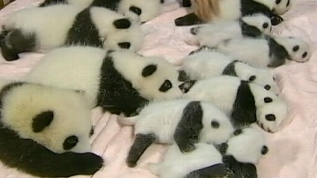 VIDEO: 14 Pandas in a Crib