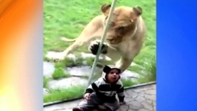 VIDEO: Jack and Heather Baltzor filmed a lion batting at glass when he saw their son.