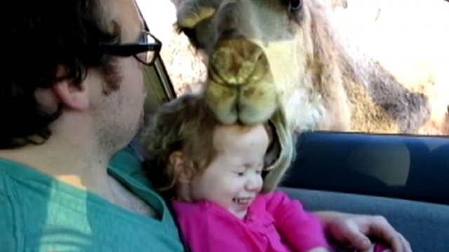 VIDEO: A bad camels naughty behavior at a drive-thru zoo was caught on tape.