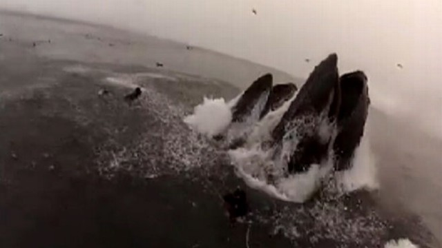 VIDEO: Divers Almost Swallowed By Whales