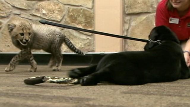 VIDEO: Cheetah Cubs Grow up Alongside a Puppy