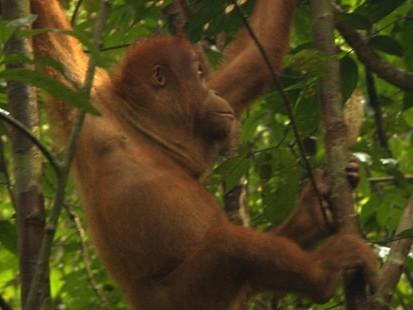 VIDEO: Endangered Species in Sumatra