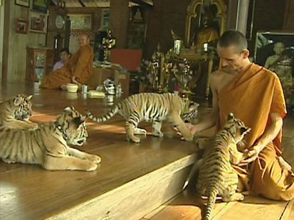 VIDEO: Baby tigers and monks at the Tiger Temple in Thailand.