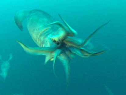 VIDEO: Carnivorous Humboldt squid attack divers and terrorize tourist beaches.