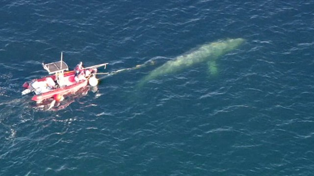 VIDEO: Crews work to rescue a gray whale entangled in fishing line.
