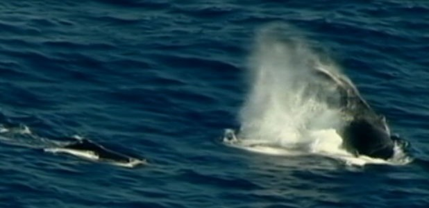 VIDEO: Surfer Knocked Unconscious by Whale