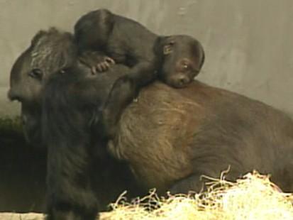 VIDEO: Female gorilla steps in after biological mother walks away from infant.