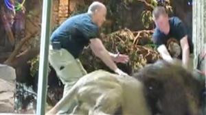 Las Vegas Lion Attack Caught on Honeymooners Video