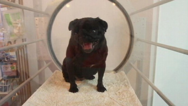 VIDEO: Tokyo spas weight loss program for dogs takes place in a hyperbaric chamber.