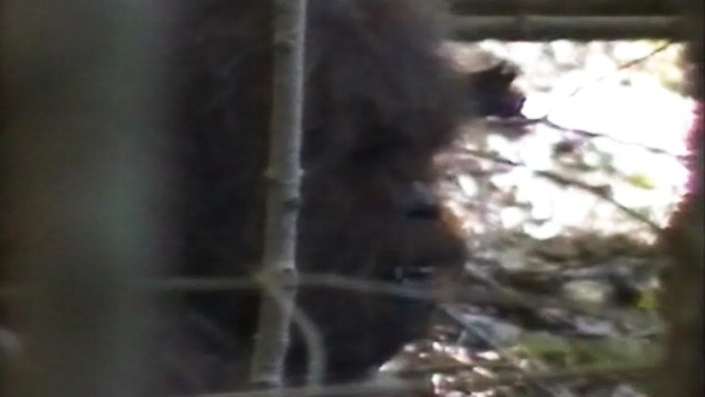 VIDEO: A team of researchers play what they say is never-before-seen video of Sasquatch.