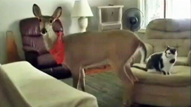 VIDEO: The family, which rescued the deer five years ago, must apply for a special permit.