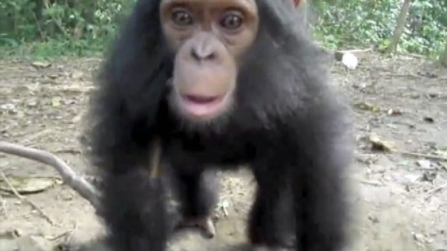 VIDEO: 21-month-old Milou jumps, spins, gets dizzy at Sanaga-Yong Chimp Rescue Center.