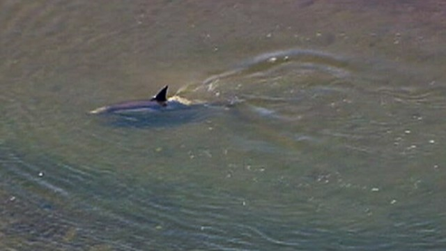 VIDEO: Fish and game officials worked to rescue dolphin in Bolsa Chica wetlands.