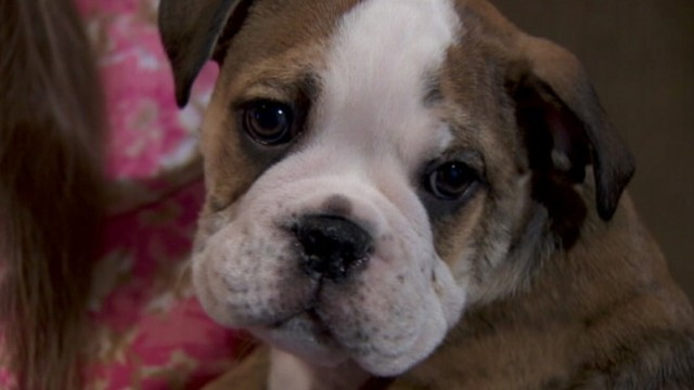 VIDEO: English bulldog taken from Oregon couple at gunpoint was taken to Canada.