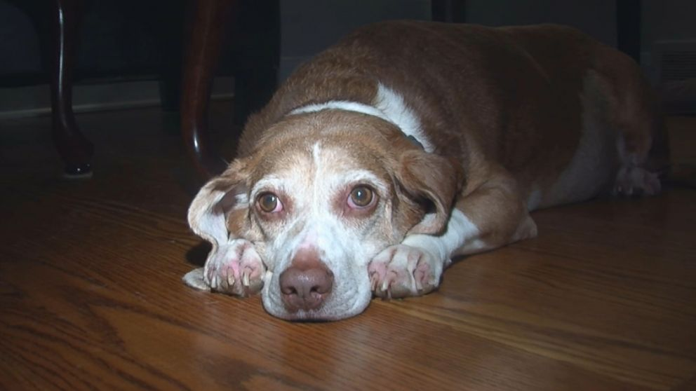 Beagle diagnosed with cancer is living life to the fullest, thanks to his owners.