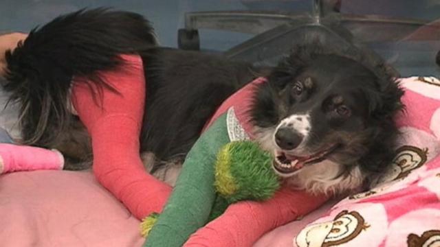 Animal lovers donated to help Iraq War vets badly injured Australian shepherd Molly.