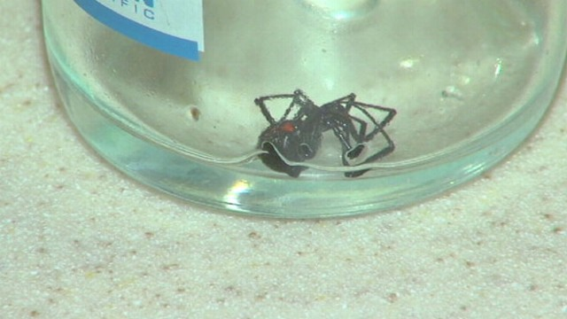 VIDOE: Michigan familys son recognized and killed the venomous spider before anyone was bit.