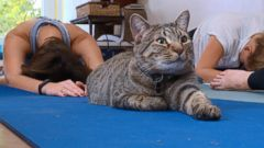 VIDEO: Washington, D.C. Cat Cafe Trials New Cat Yoga Concept