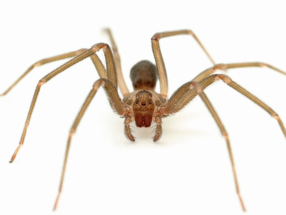 PHOTO: Brown recluse spiders are found in the south and Midwestern parts of the country.