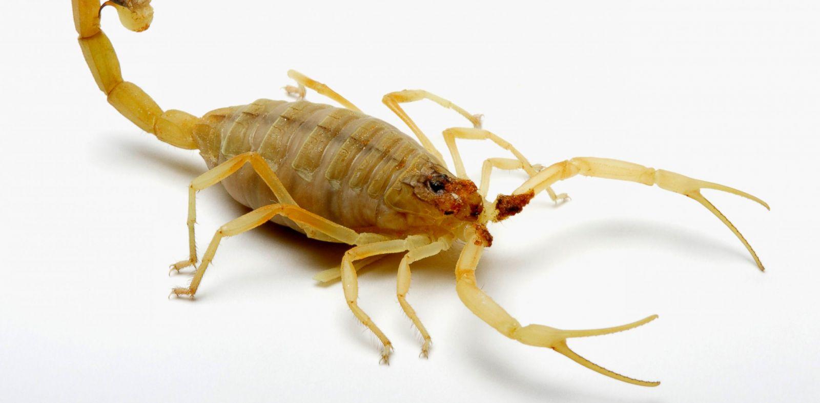 PHOTO: Deathstalker Scorpion.