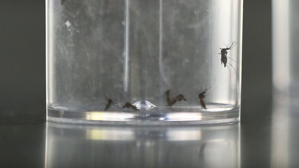 PHOTO: A glass containing mosquitoes of the Aede Aegypti species is seen in the Center for Scientific and Technical Research for Defense, part of Argentinas Ministry of Defense, in Buenos Aires, Argentina, Feb. 5, 2016.