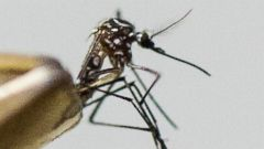 PHOTO: Aedes aegypti mosquito, the species which transmits the dengue virus, chikungunya fever and zika is photographed on March 4, 2016 in Sao Paulo, Brazil.