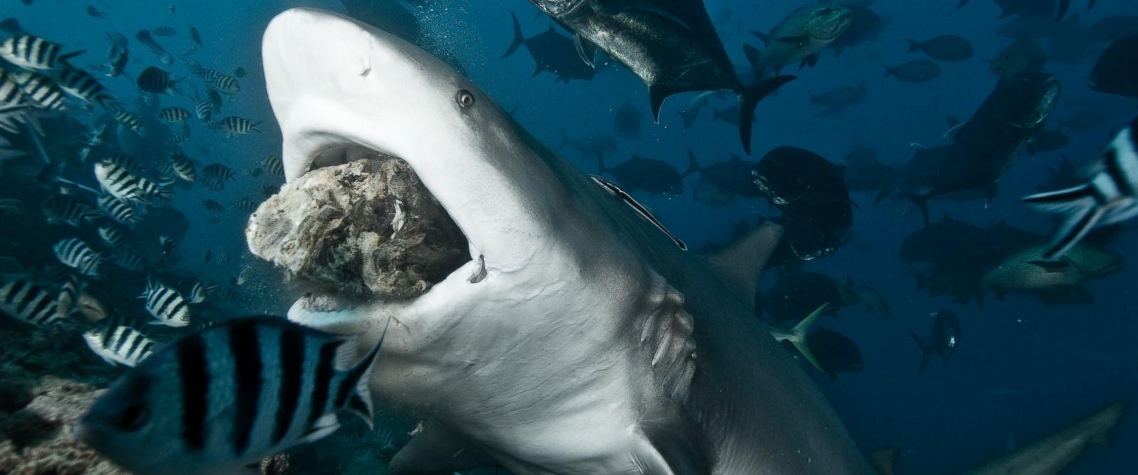 PHOTO: A bull shark takes bait.