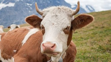 PHOTO: A cow is pictured in this stock image.
