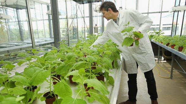 PHOTO: Dr. Frank Thieme, Manager of Deveopment at Icon Genetics, picks out samples of the nicotiana benthamiana plant.