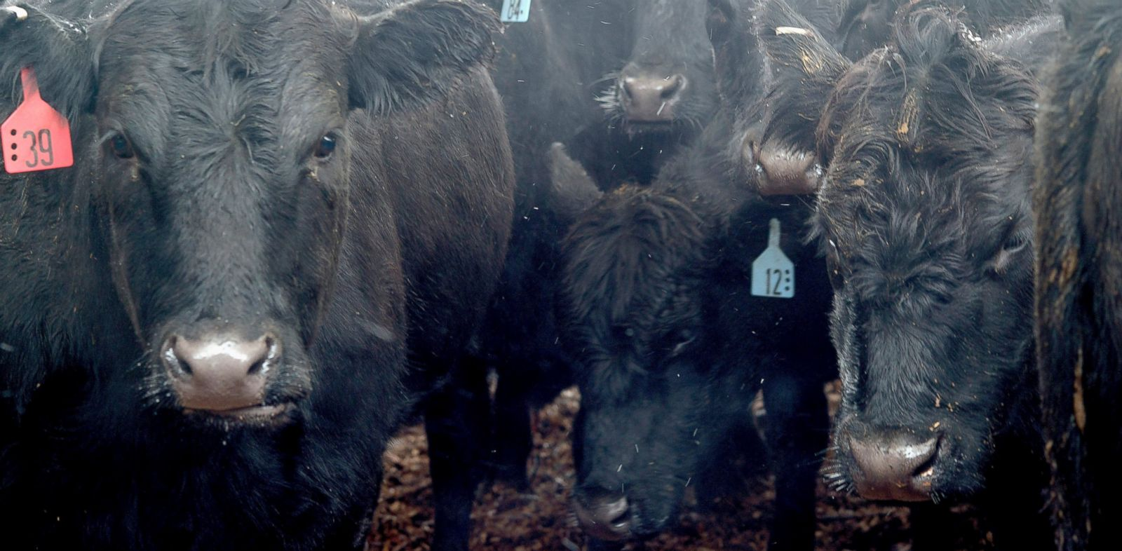 PHOTO: Black Angus cattle stand outside in a pen before being auctioned off at the Muskingum County Livestock Co. in Zanesville, Ohio, Nov. 27, 2013.