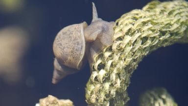 PHOTO: A freshwater snail is pictured in this stock image.