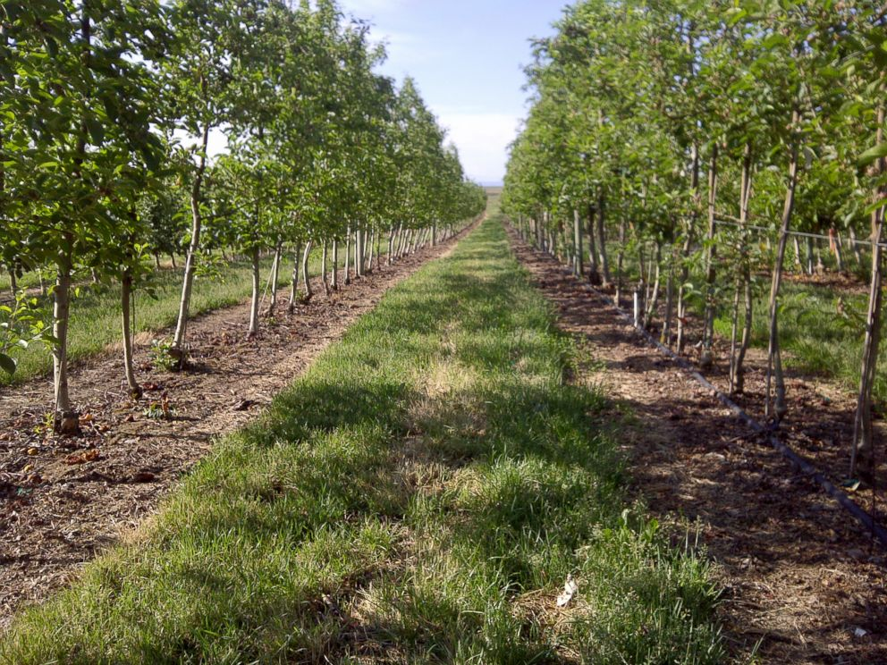PHOTO: The Arctic Apple orchard is seen here.