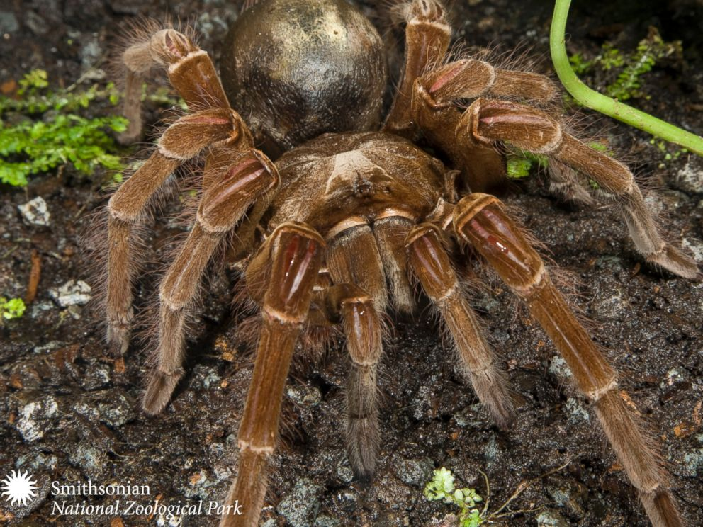 PHOTO: The birdeating spider does not in fact eat birds. It subsists on worms and mice.